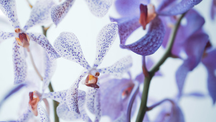 violet pink orchid in soft focus style for romantic, wedding, spa concept and floral concept...