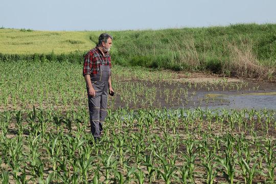 Agricultural scene, farmer in corn field