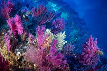 Gorgonian of mediterranean sea.