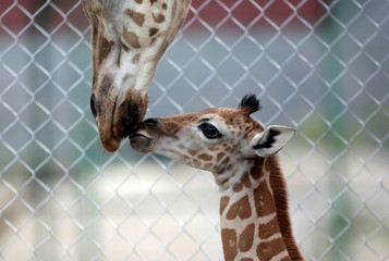 A newly-born giraffe is seen with her mother at their enclosure at the Xenpal Zoo in Garcia