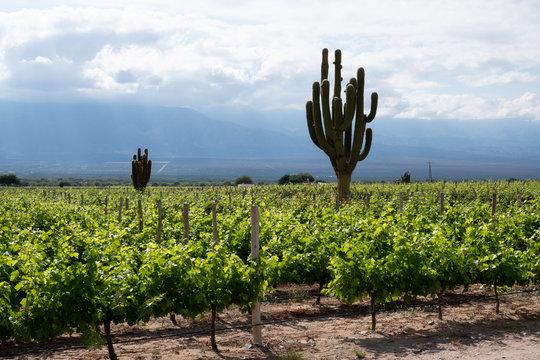 Vineyard with giant cactus, Cafayate, Argentina