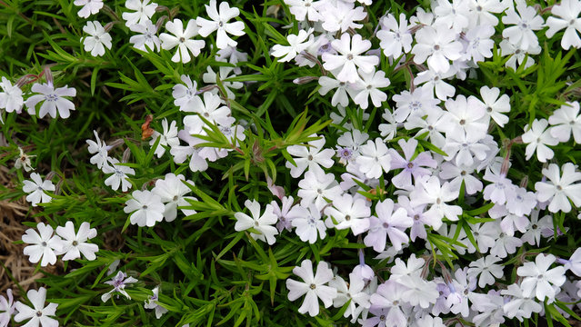 Phlox flowers blooming in shades of white and light purple. A type of flower with 5 heart-shaped petals.