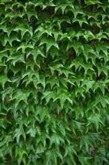 Fresh green vine leaves texture