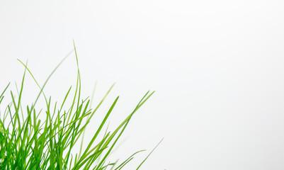 Green grass on white bacground bottom left