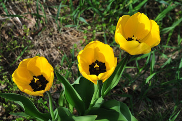 close-up of yellow tulip flowers in a meadow
