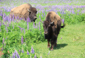 Large bison on field with colored grass