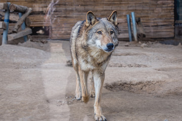 Canis lupus chanco - Mongolian wolf in Beijing, capital city of China