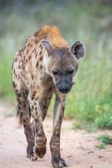 Poster Hyène Spotted hyaena walking on safari dirt road in Kruger National park, South Africa ; Specie Crocuta crocuta family of Hyaenidae