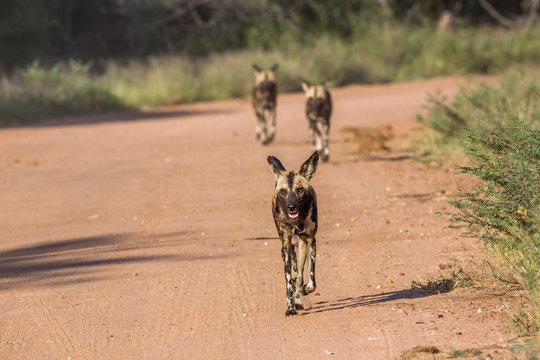 Three African wild dog running on gravel road in Kruger National park, South Africa ; Specie Lycaon pictus family of Canidae