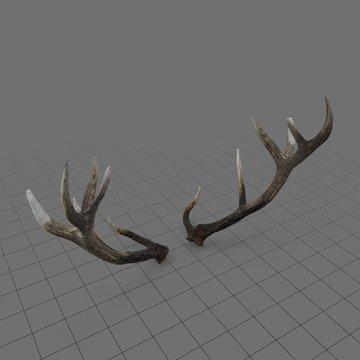 Reed deer antlers