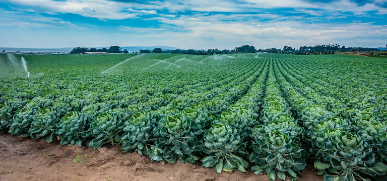 An agricultural field of rows of Brussels sprouts are sprayed with a water irrigation system on a partly cloudy day in central California.