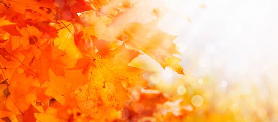 Autumn natural background with orange maple leaves, fall bright landscape, banner, place for text