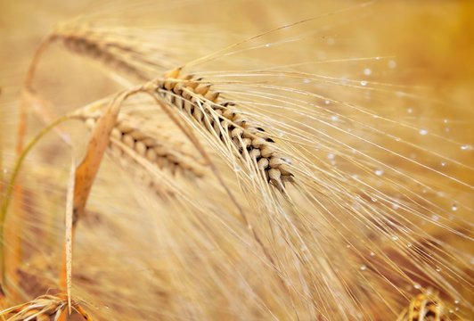 close on a golden ear of grain with water drops in a field