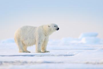 Poster Ijsbeer Polar bear on drift ice, Svalbard, Norway.