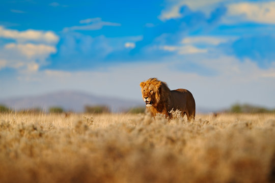 Lion walk. Portrait of African lion, Panthera leo, detail of big animals, Etocha NP, Namibia, Africa. Cats in dry nature habitat, hot sunny day in desert. Wildlife scene from nature. African blue sky.