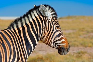 Fotomurales - Zebra with blue storm sky with clouds. Burchell's zebra, Equus quagga burchellii, Nxai Pan National Park, Botswana, Africa. Wild animal on the green meadow. Wildlife nature on African safari.