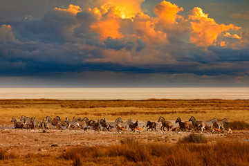 Fotomurales - Zebra and storm evening sunset in Etosha Pan in Namibia. Wildlife nature, safari in dry season. African landscape with wild animals, clouds on the sky. Herds of zebra near the water hole in the desert