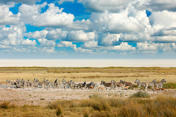 Fotomurales - African landscape with wild animals, clouds on the sky. Herds of zebra near the water hole in the desert. Zebra and storm evening sunset in Etosha Pan in Namibia. Wildlife nature, safari dry season.