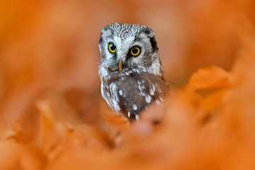 Owl, detail portrait of bird in the nature habitat, Germany. Fall wood in orange, Bird hidden in the orange leaves. Boreal owl with big yellow eyes in the autumn forest in central Europe. nature.