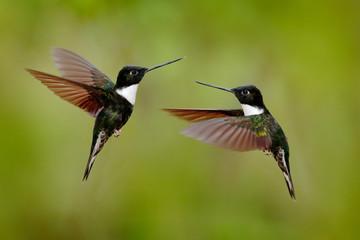 Black hummingbird Collared Inca, Coeligena torquata, dark green black and white hummingbird flying bird fight, Colombia. Wildlife scene from nature. Black and white tropic bird. Two birds, open wings.