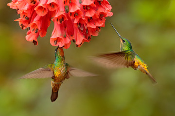 Two birds. Hummingbird Golden-bellied Starfrontlet, Coeligena bonapartei, with long golden tail, beautiful action flight scene with open wings, clear green backgroud, Chicaque Natural Park, Colombia.