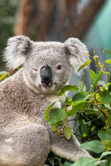 Funny koala animal winking blinking cute wink at camera at Sydney Zoo in Australia. Australia wildlife animals.