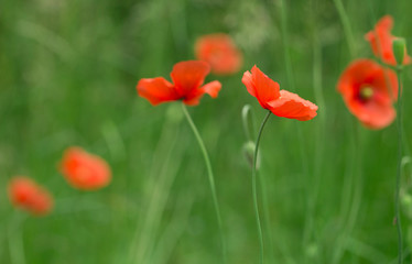 Poppy flower in garden outdoor