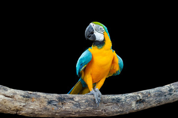 Bird Blue-and-yellow macaw standing on branches with black background. Fotomurales