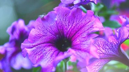 Fotoväggar - Petunia. Blooming Petunia flowers in a garden closeup. Beautiful purple Petunia bells. Slow motion. 3840X2160 4K UHD video footage