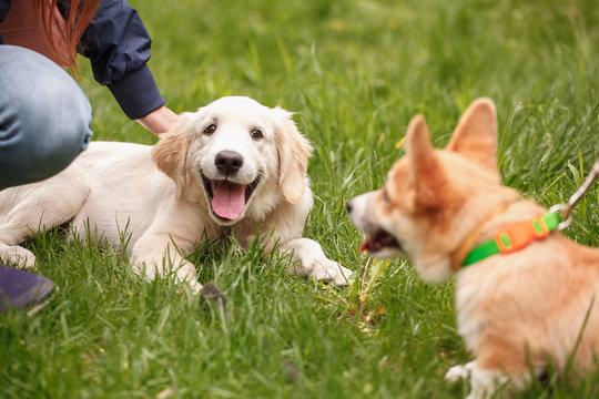 Girl strokes a puppy golden retriever in the grass