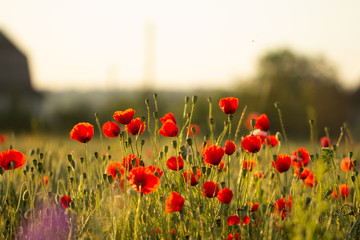 Fotobehang Klaprozen Red poppies bloom on a wheat field with green spikelets.