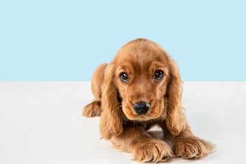 Looking so sweet and full of hope. English cocker spaniel young dog is posing. Cute playful braun doggy or pet is lying isolated on blue background. Concept of motion, action, movement. Wall mural