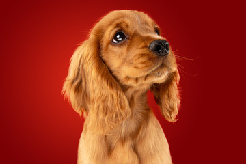 Wall Mural - Perfect companion on the way. English cocker spaniel young dog is posing. Cute playful braun doggy or pet is sitting full of attention isolated on red background. Concept of motion, action, movement.