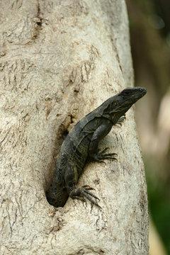 Black Iguana Emerging from Tree Hole
