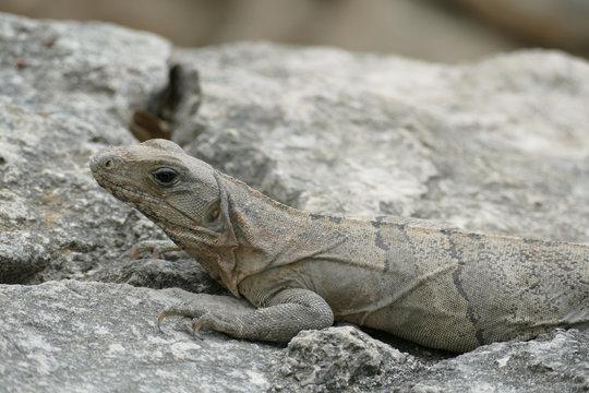 Black Iguana Camouflaged Against Rocks