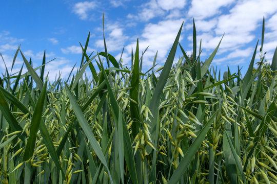 Junger Hafer in Nahaufnahme auf einem Feld vor blau weißem Himmel