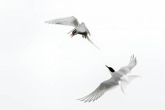 The Fight Between Arctic Terns