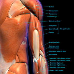 Male Triceps Muscle Chart Labeled on Black Background