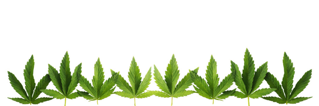 Cannabis leaves in a row, isolated on white background. Banner in popular sizes of social networks..