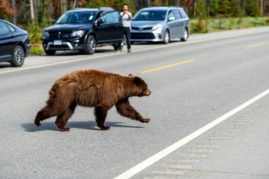 Dangerous wildlife encounter with an american black bear (Ursus americanus) coming out of the woods, and running through the road between the cars on Icefields Parkway in the Banff National Park