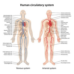Human arterial and venous circulatory system