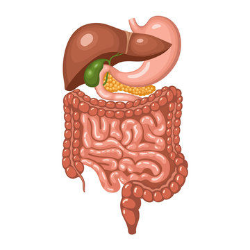 Anatomy of the human digestive system