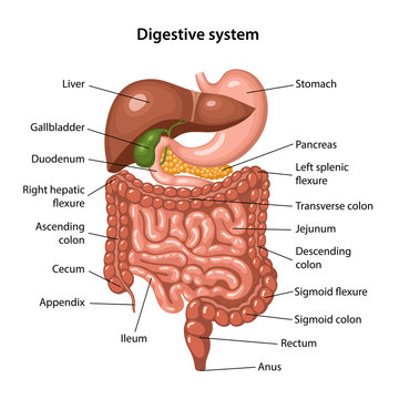 Anatomy of the human digestive system with description of the corresponding internal parts
