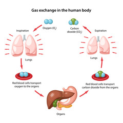Gas exchange in the human body. Anatomical vector illustration with description of the corresponding parts in flat style isolated over white background.