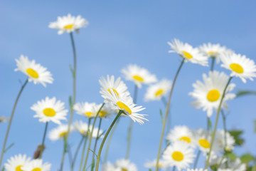 daisies on background of blue sky