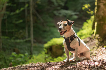 Small old  funny Jack Russell Terrier dog is sitting obediently in a sunny forest