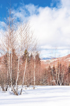 birch forest in winter. leafles plants stay frozen on a snowy meadow. wonderful landscape in mountains on a sunny day with cloudy sky. snow covered peak in the distance. magical beauty of carpathians