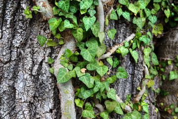 Weaving ivy on the bark of an old tree. natural texture, background, close-up. Fototapete