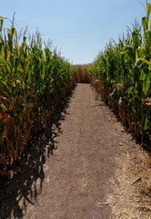 Dirt Pathway Inside Corn Maze in the Fall