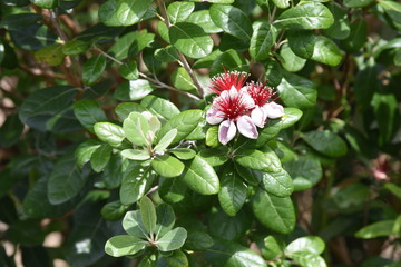 Feijoa (Feijoa selllowiana) is a tropical fruit tree and its fruits are edible.